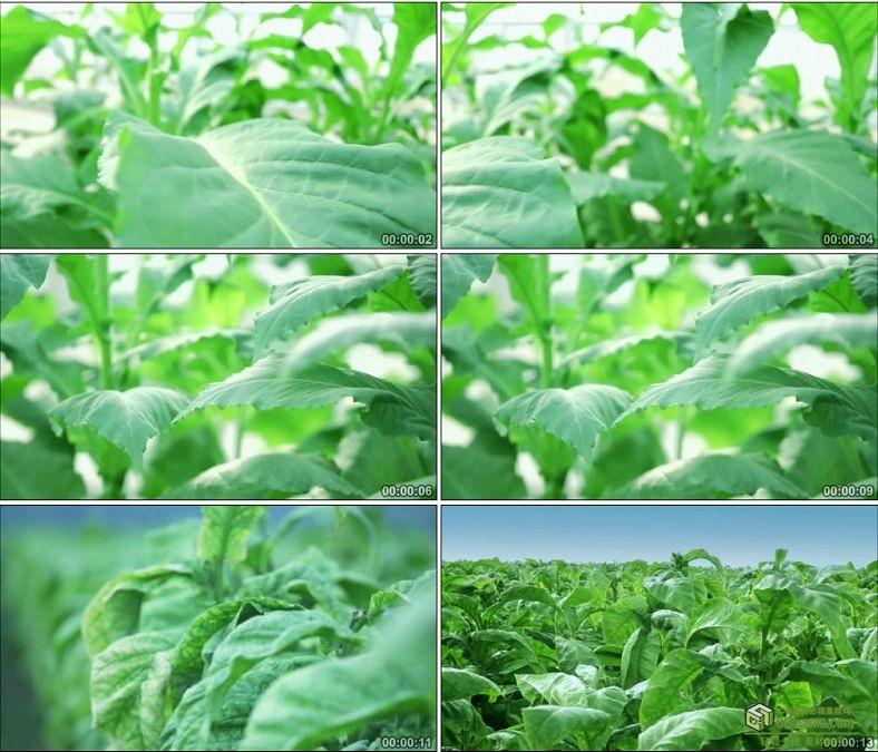 YC0209-农民大棚种菜新鲜的蔬菜植物/菜叶/中国高清实拍视频素材下载