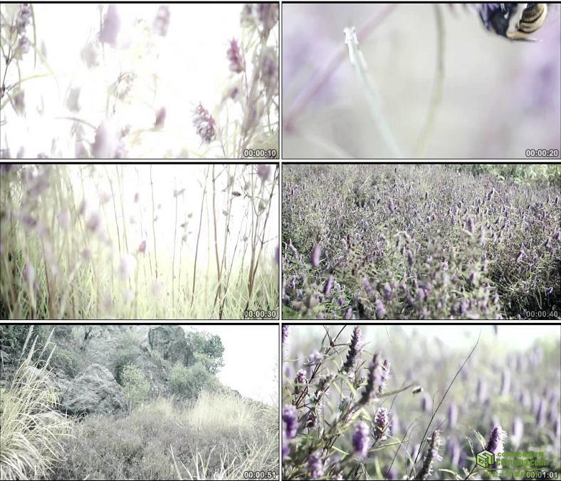 YC0458-铜绿山铜草花紫色小花中国高清实拍视频素材下载