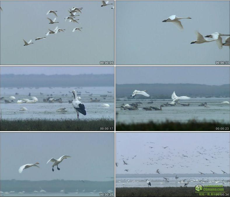 YC0507-天空中飞翔的天鹅中国高清实拍视频素材下载