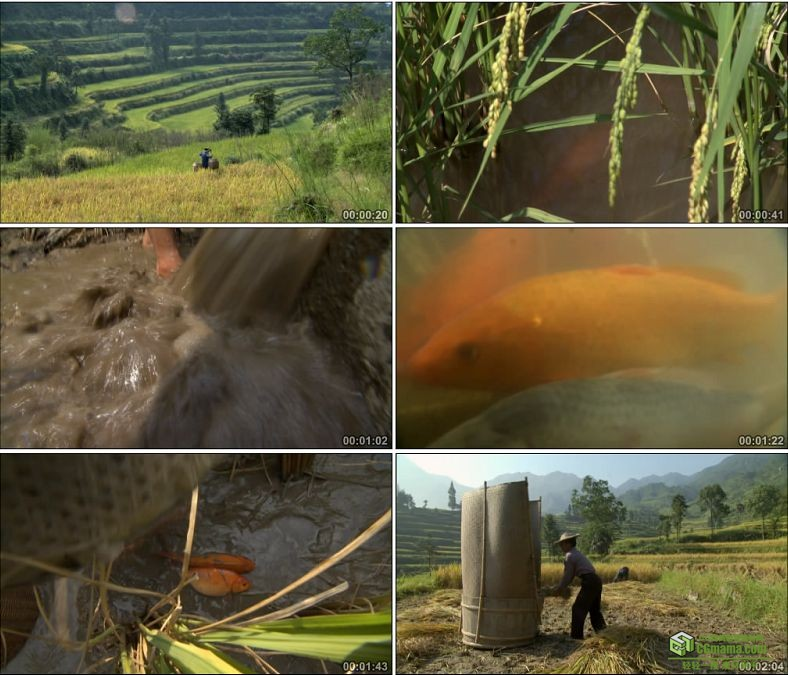 YC0510-农村农民割水稻捉鱼舂米中国高清实拍视频素材下载