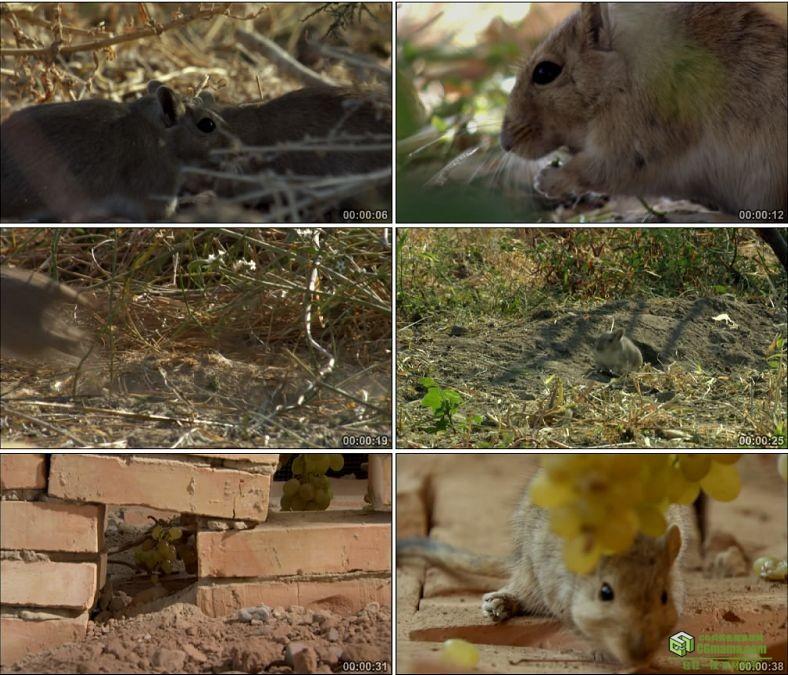 YC0534-老鼠仓鼠老鼠偷葡萄中国高清实拍视频素材下载