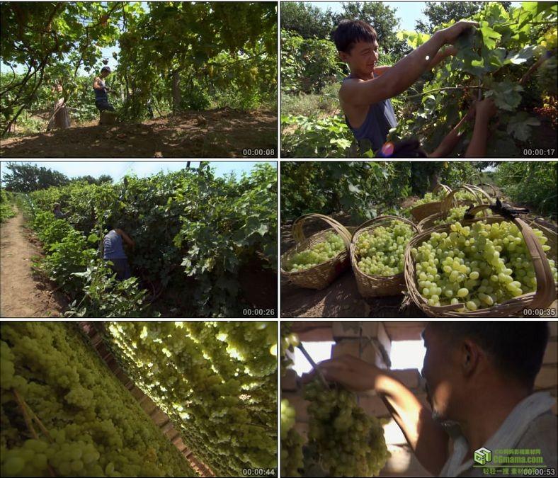 YC0536-新疆葡萄园维吾尔族农民摘葡萄晒葡萄干中国高清实拍视频素材下载