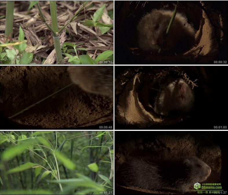 YC0561-吃竹子的老鼠竹鼠中国高清实拍视频素材下载