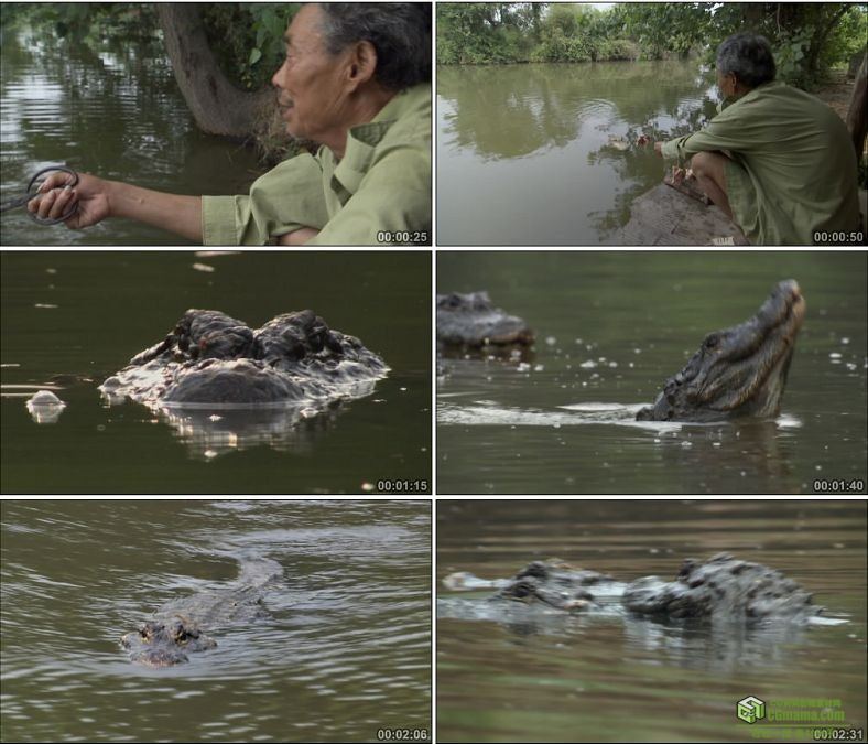 YC0571-喂鳄鱼扬子鳄鳄鱼特写中国高清实拍视频素材下载