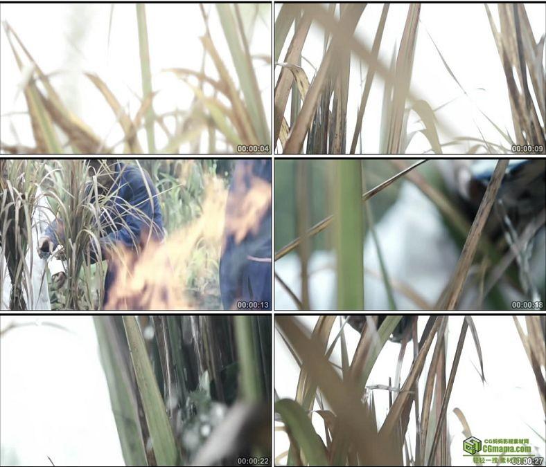 YC0786-茅草祭祀包茅中国古代祭祀仪式高清实拍视频素材下载