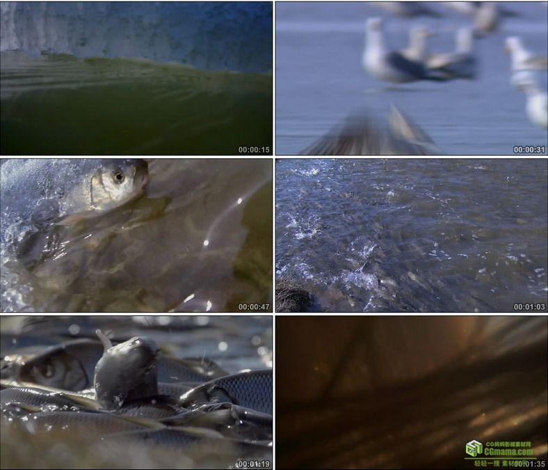 YC0846-华子鱼洄游产卵海鸟捕食中国高清实拍视频素材下载