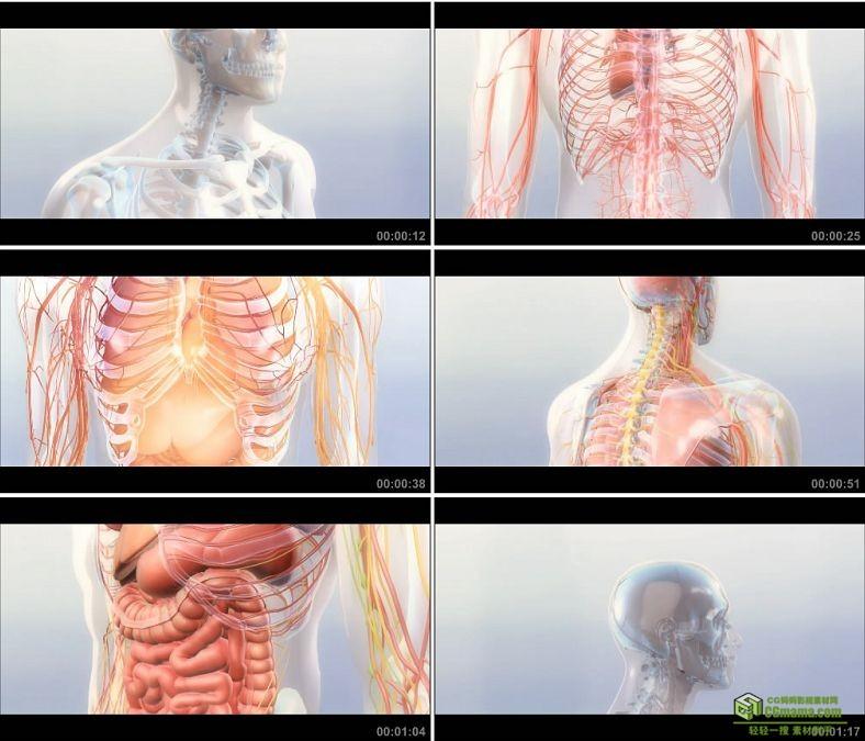 YC0966-人体模型血管骨骼器官动画生物科学小高清视频素材