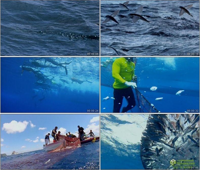 YC1164-海中潜水网捕罗飞鱼高清实拍视频素材