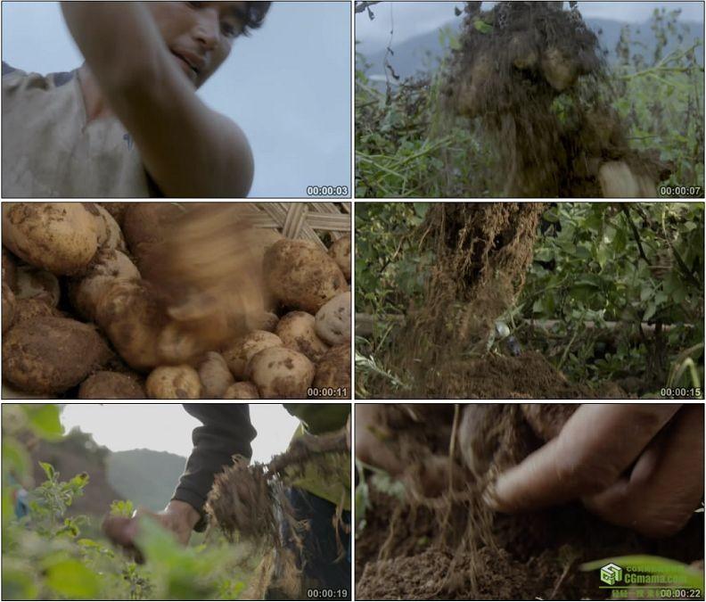 YC1193-农民挖土豆洋芋紫色洋芋马铃薯高清实拍视频素材