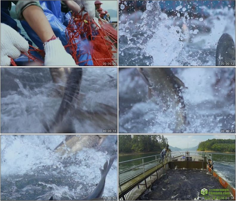YC1194-围网捕鱼鱼群翻腾跳出水面渔业高清实拍视频素材