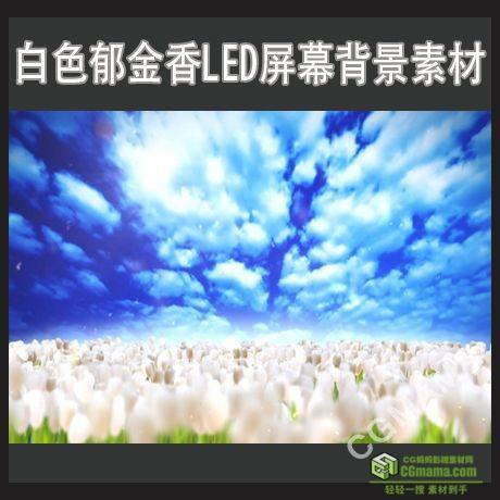 LED0197-白色郁金香花朵LED屏幕高清视频背景素材
