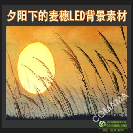 LED0478-夕阳下的麦穗led背景高清视频素材