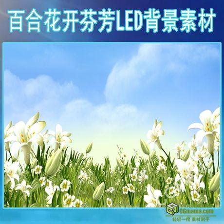 LED0498-明媚阳光白色百合花朵朵开LED高清视频背景素材