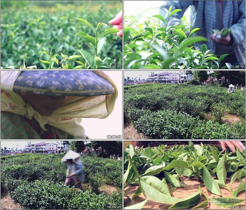 YC1922-台湾梨山茶园茶农采茶晾晒茶叶高清实拍视频素材