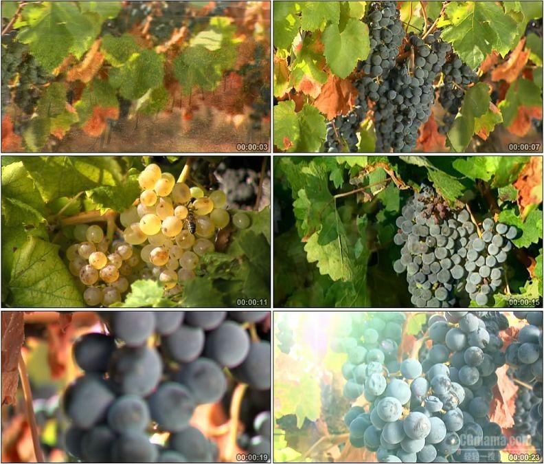 YC1955-紫色青色成熟的葡萄水果高清实拍视频素材