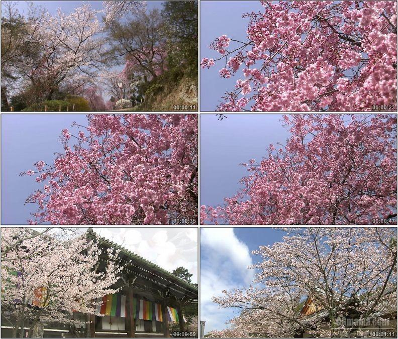 YC1958-白色粉红色樱花树樱花园美丽景色高清实拍视频素材
