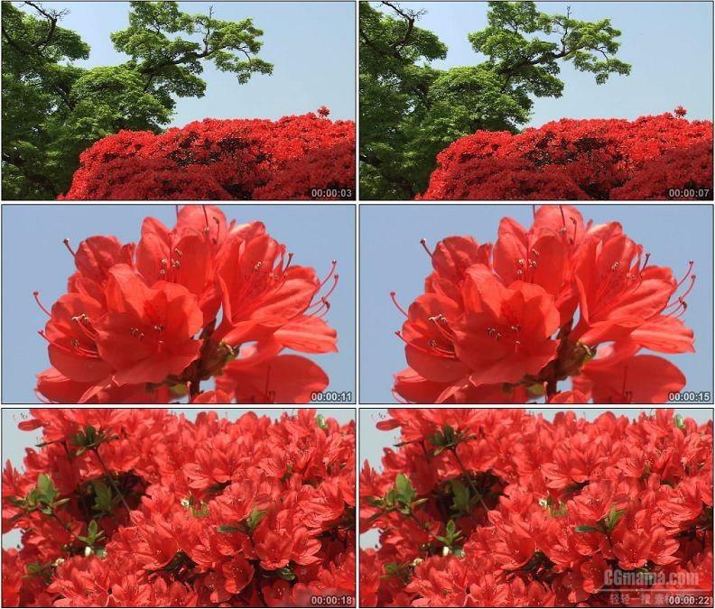 YC1969-红色杜鹃花花卉特写镜头高清实拍视频素材