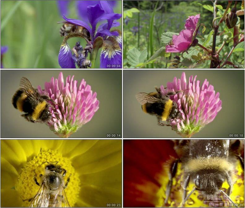 YC1981-蜜蜂采蜜采花粉昆虫兰花太阳花特写镜头高清实拍视频素材