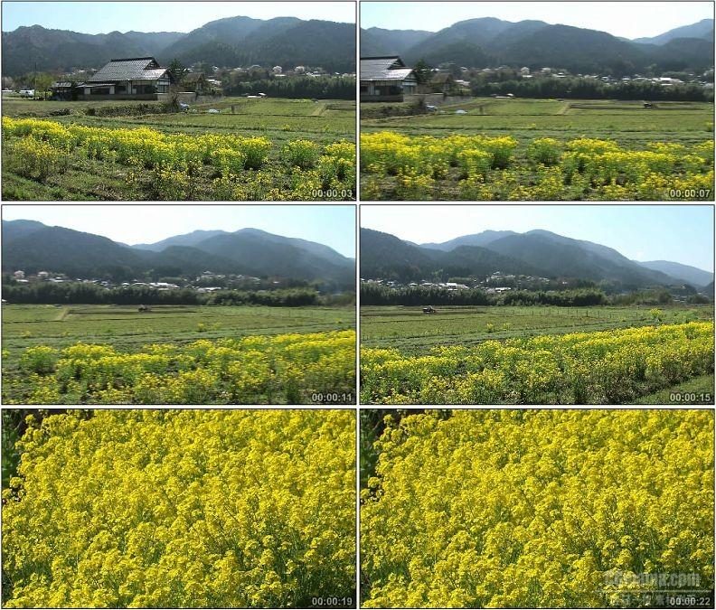 YC1984-南方黄色油菜花油菜花田美丽风景高清实拍视频素材