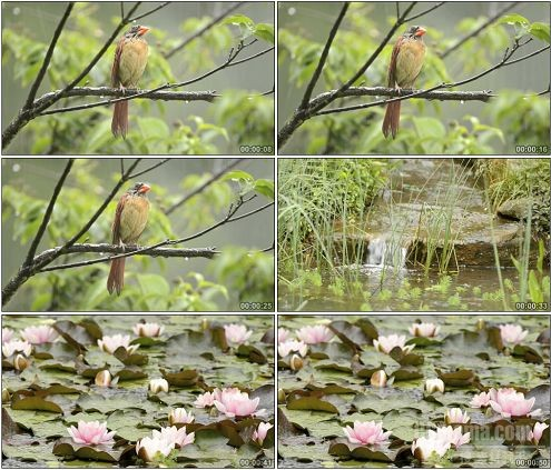 CG0044-雨水淋湿黄鹂雨打荷花自然风光摄影高清实拍视频素材