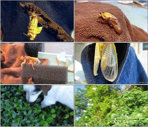 CG0078-夏季蝉孵化知了昆虫特写镜头高清实拍视频素材