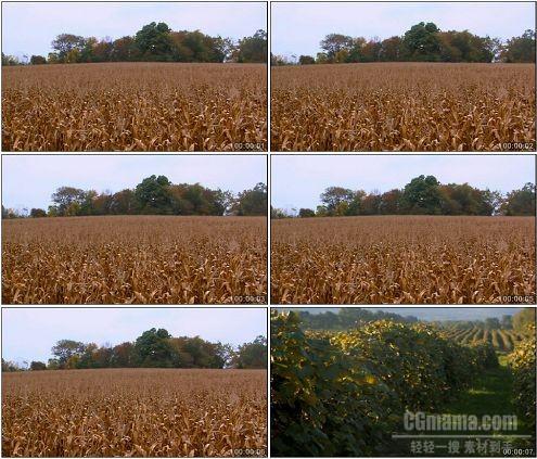 CG0134-凋谢的玉米地和葡萄园田园风光高清实拍视频素材