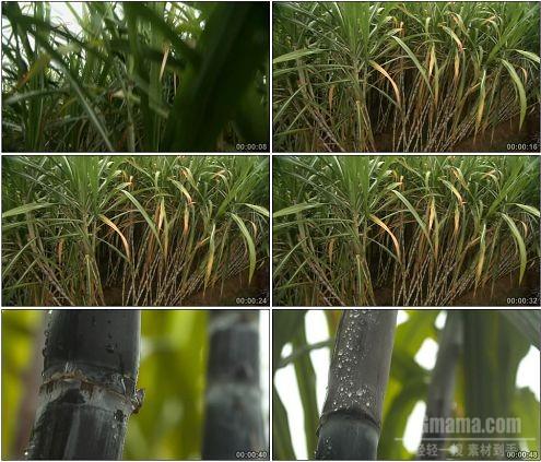 CG0150-甘蔗园植物特写高清实拍视频素材