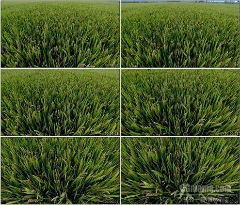 CG0155-水稻稻田稻子特写高清实拍视频素材