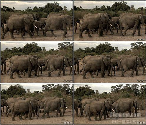 CG0179-象群大象走过荒地景象高清实拍视频素材