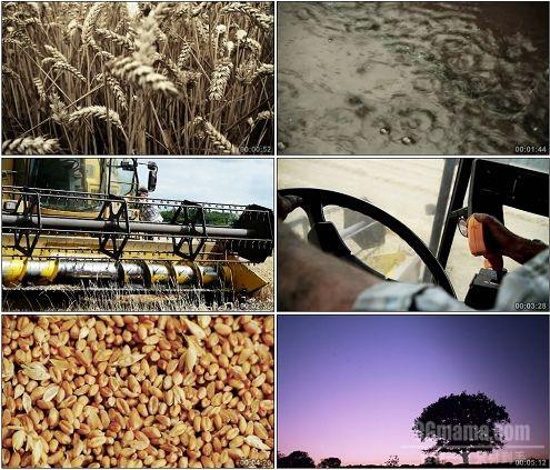 CG0223-国外谷物联合收割机收割小麦高清实拍视频素材
