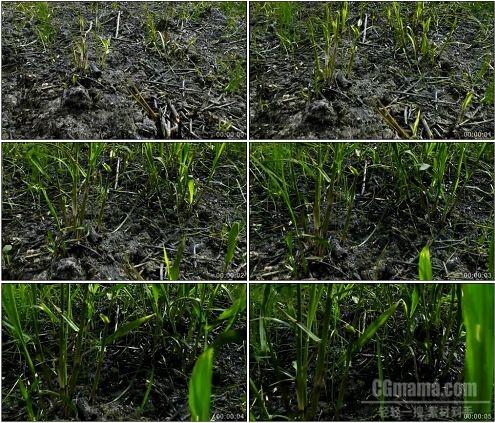 CG0264-嫩草发芽破土而出成长高清实拍视频素材