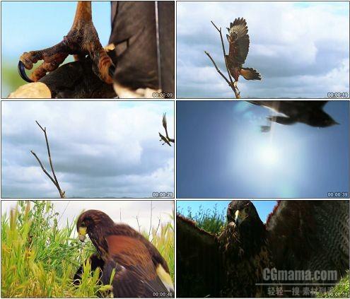 CG0286-阳光下雄鹰展翅高飞活捉草丛山鸡过程高清实拍视频素材