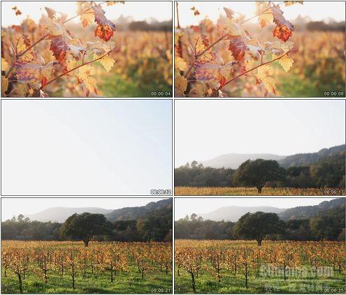CG0344-美丽的葡萄园高清实拍视频素材