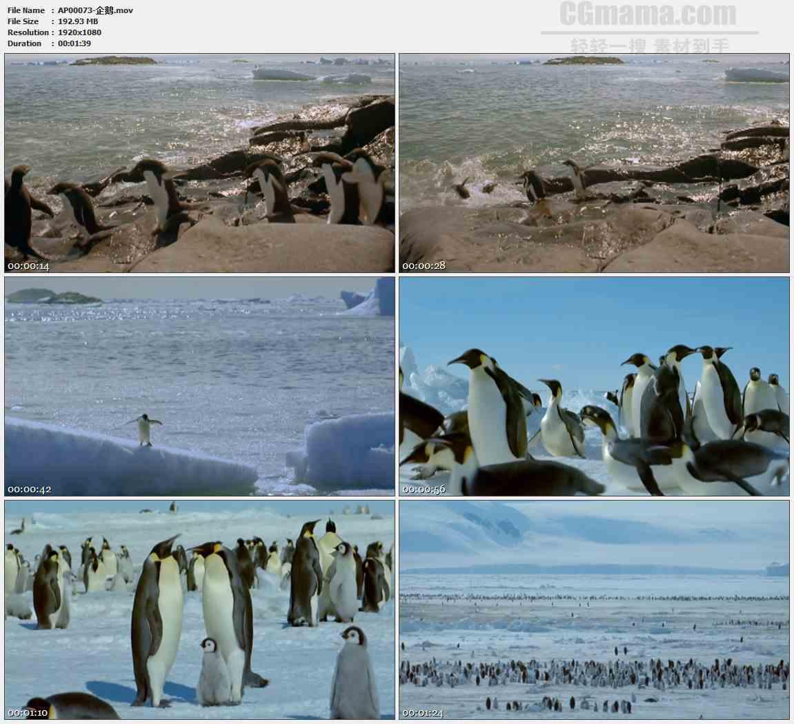 AP00073-南极企鹅行走游泳跳水动物高清实拍视频素材