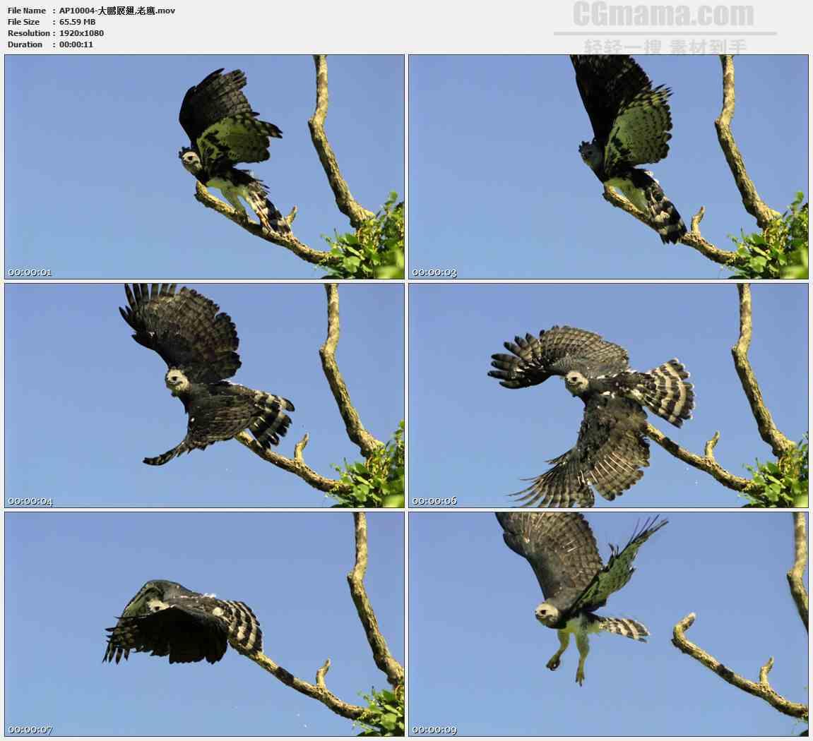 AP10004-老鹰展翅飞舞慢动作高清实拍视频素材
