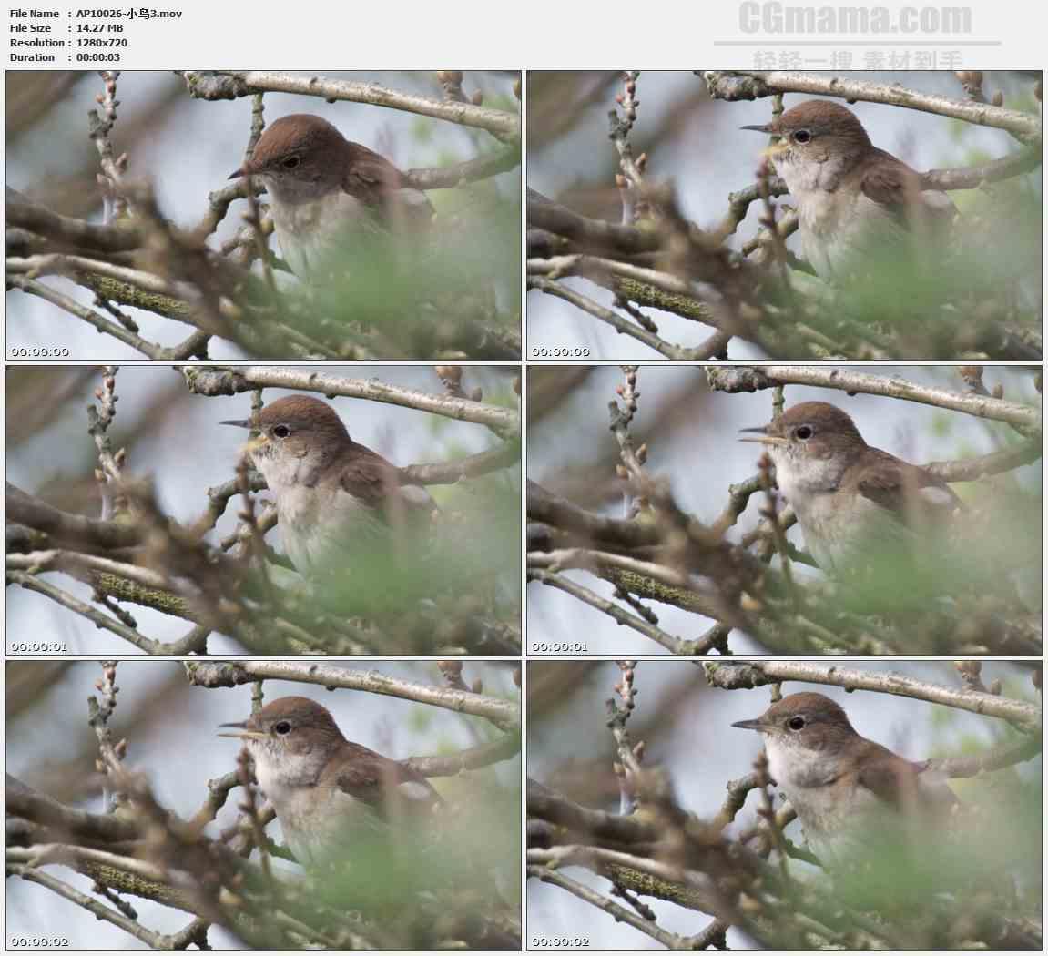 AP10026-小鸟枝头鸣叫高清实拍视频素材