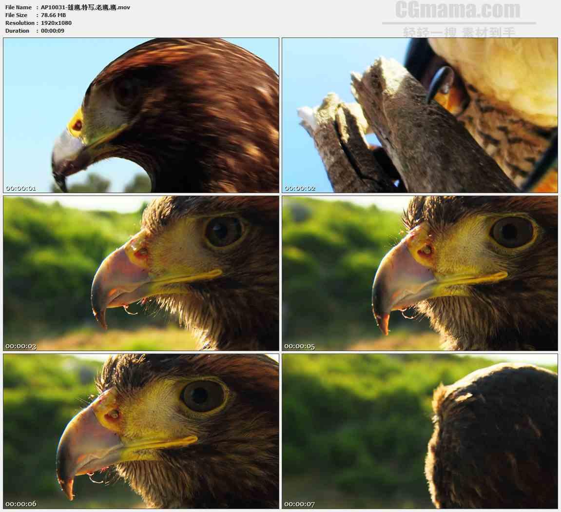 AP10031-老鹰鹰爪鹰头鹰眼高清实拍视频素材