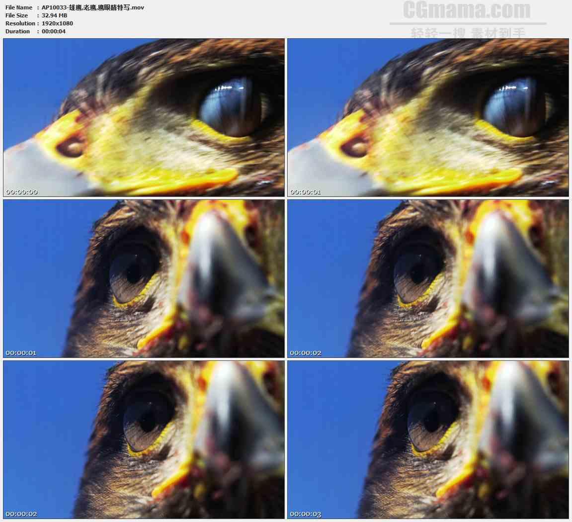 AP10033-老鹰转头眨眼高清实拍视频素材
