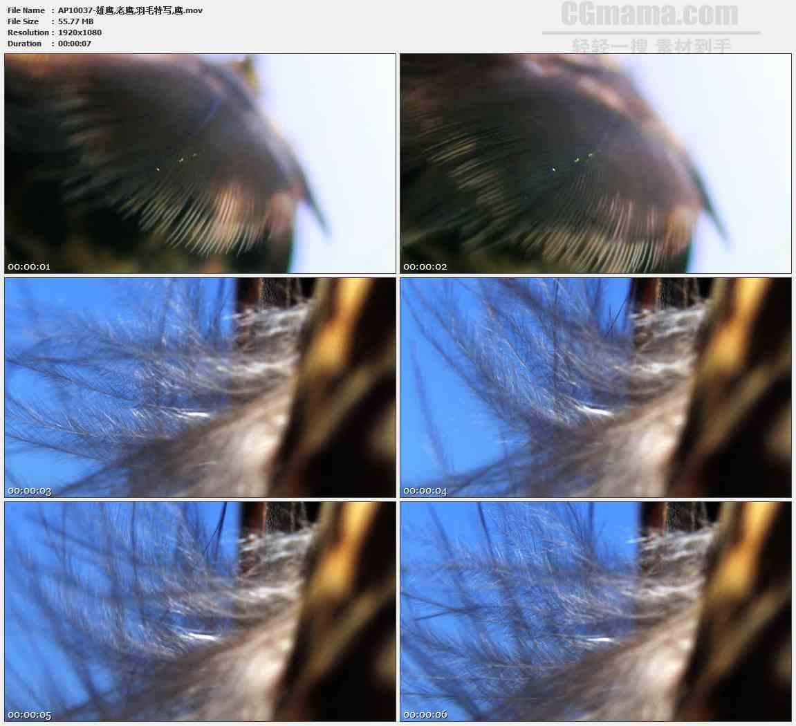 AP10037-雄鹰老鹰羽毛特写高清实拍视频素材