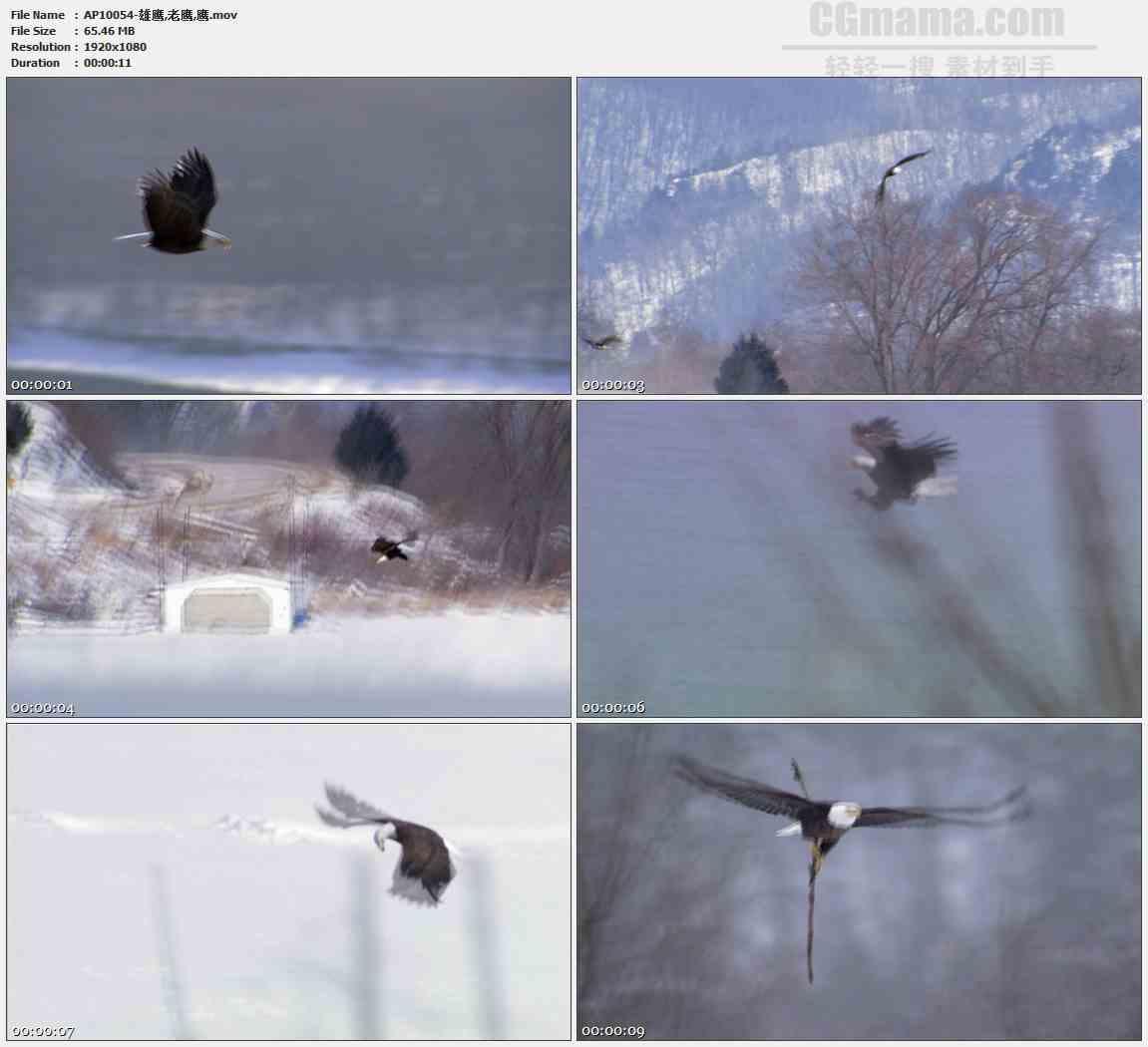 AP10054-雄鹰老鹰飞翔盘旋高清实拍视频素材