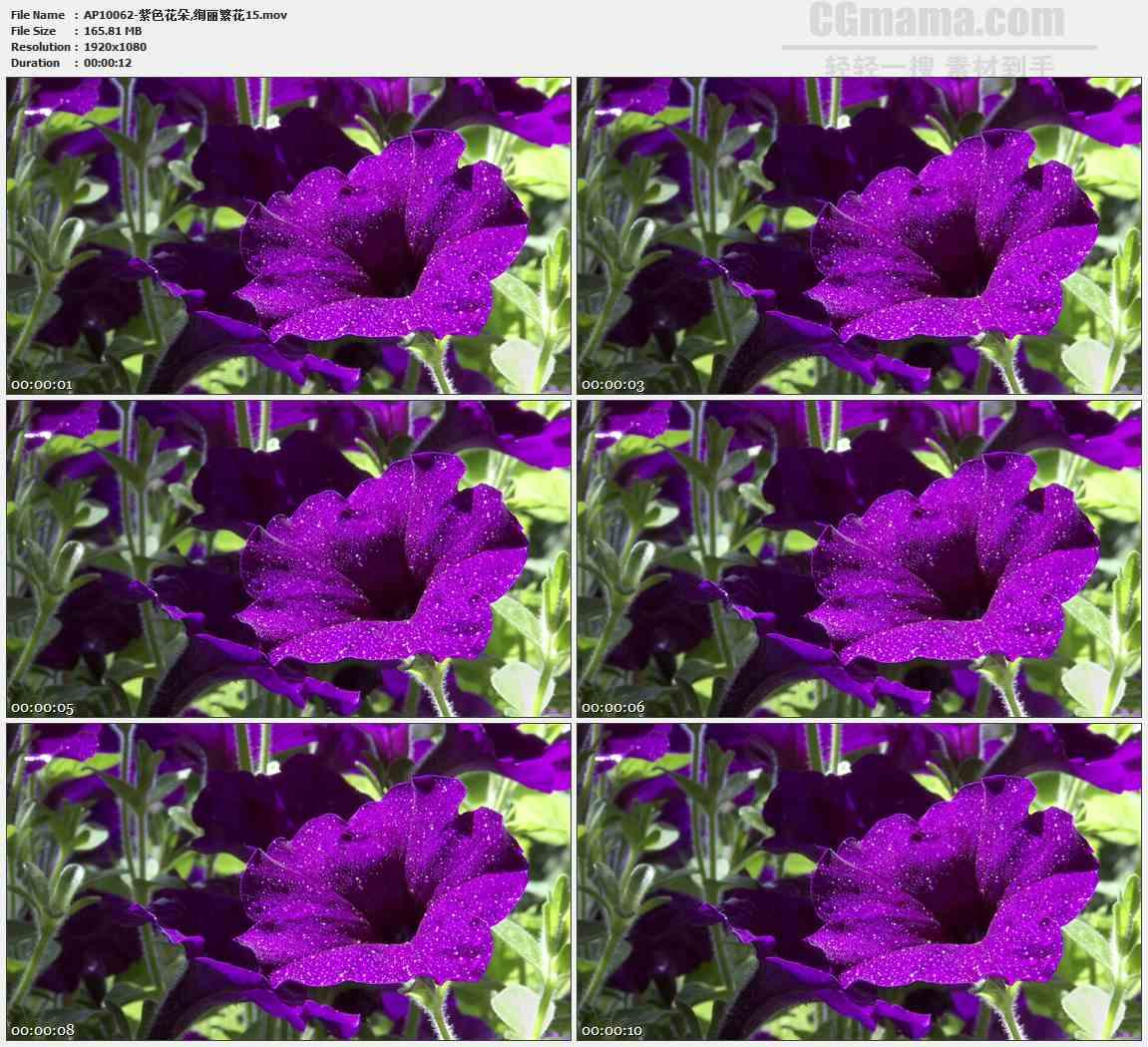 AP10062-紫色喇叭花特写高清实拍视频素材