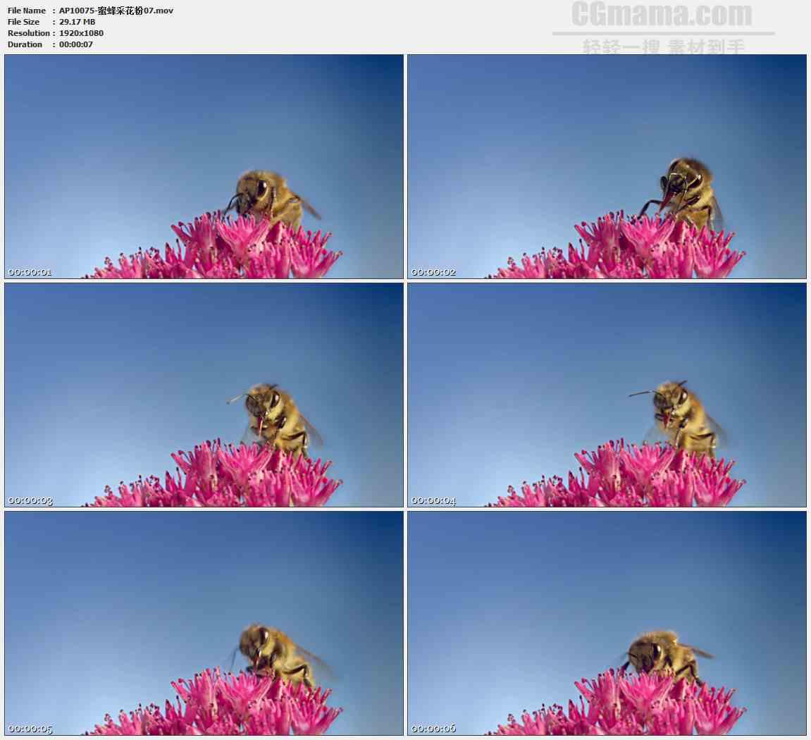 AP10075-粉红色花簇蜜蜂采蜜特写高清实拍视频素材