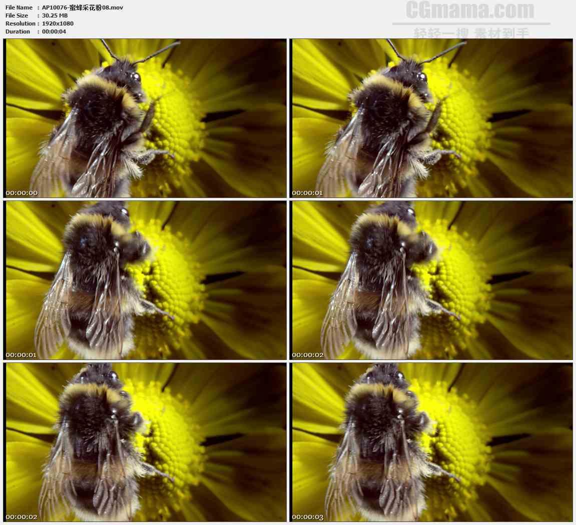 AP10076-花蕊蜜蜂采蜜特写高清实拍视频素材