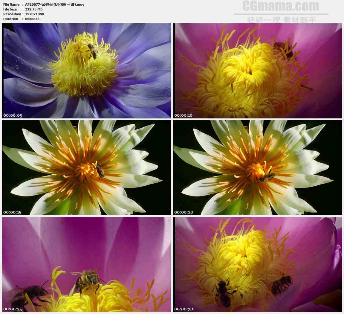 AP10077-紫色睡莲花蕊蜜蜂采蜜特写高清实拍视频素材