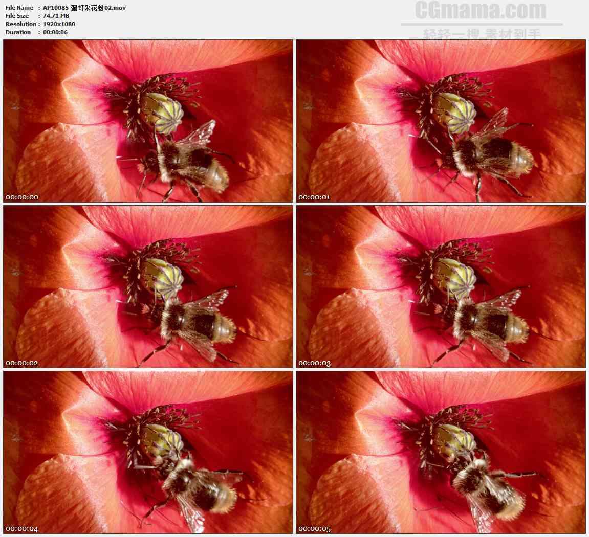 AP10085-红色花蕊蜜蜂采蜜特写高清实拍视频素材