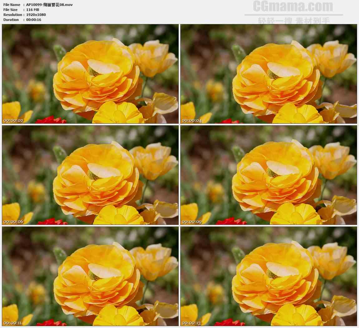 AP10099-黄色野花虞美人花朵特写高清实拍视频素材