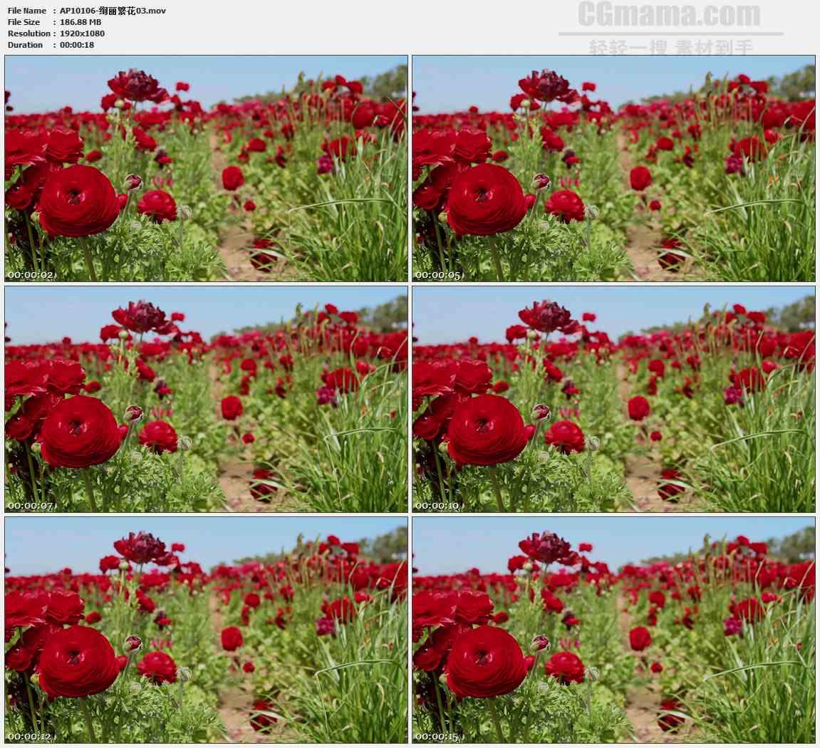 AP10106-繁花绚烂红色野花高清实拍视频素材