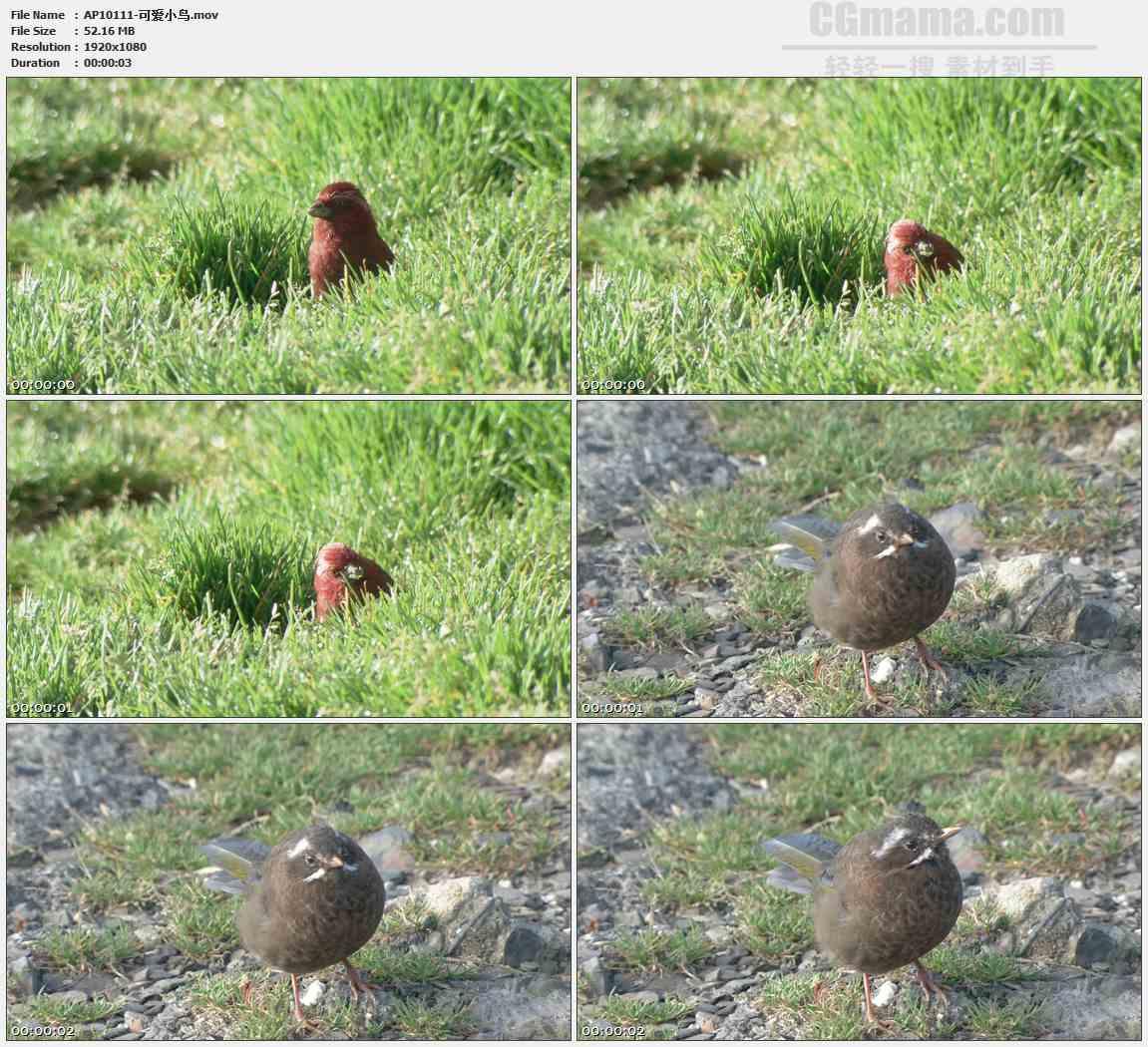 AP10111-小鸟草地觅食高清实拍视频素材