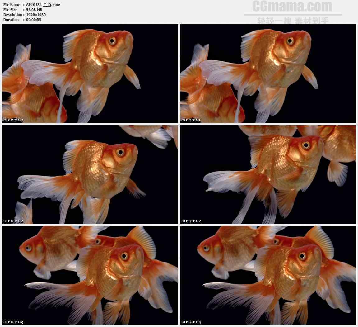 AP10134-三只橘色金鱼游动特写高清实拍视频素材