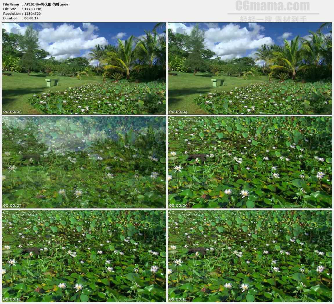 AP10146-荷塘睡莲高清实拍视频素材